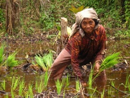 bunawan-farming-on-peat1.JPG